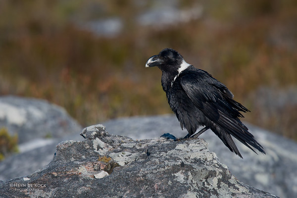 White-necked Raven, Table Mountain, Cape Town, Sept 2016