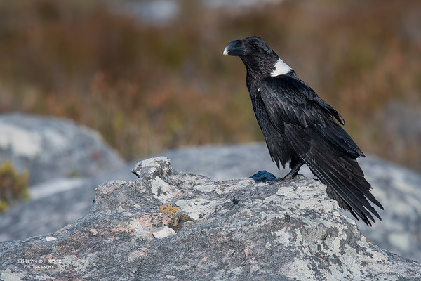 White-necked Raven, Table Mountain, WC, SA, Sept 2016-3