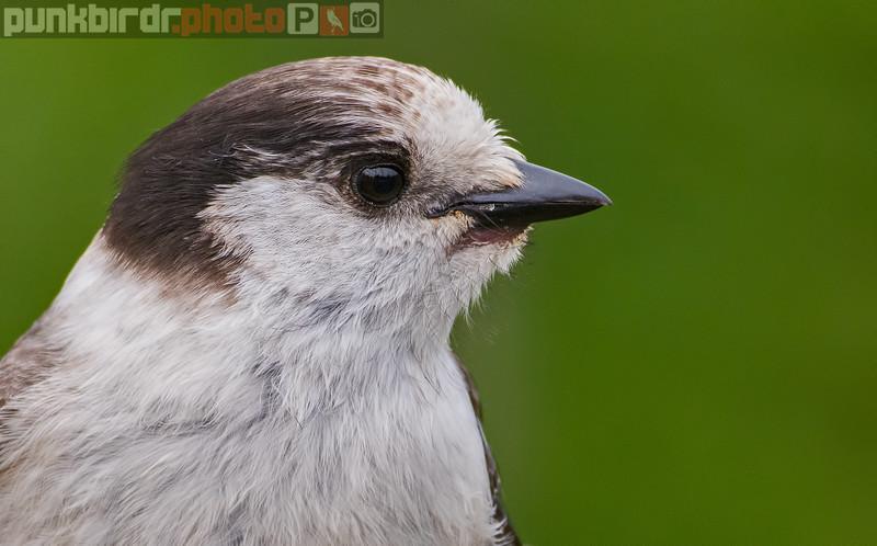 Canada (Gray) Jay (Perisoreus canadensis)