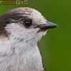 gray jay (perisoreus canadensis)