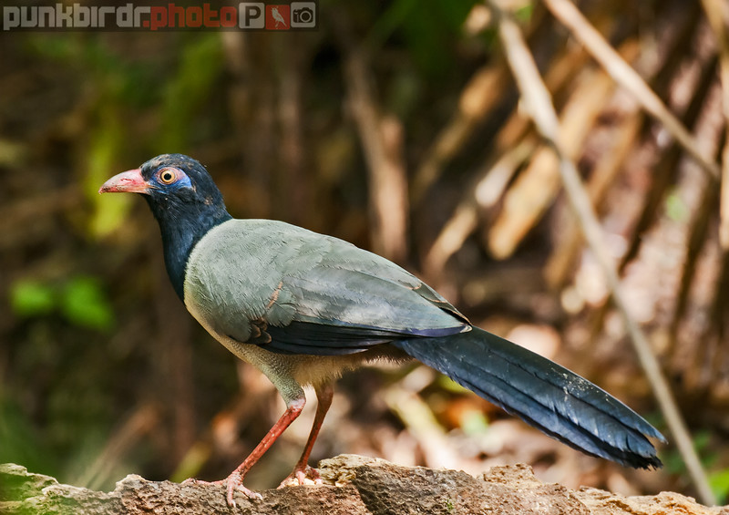 coral-billed ground cuckoo (carpococcyx renauldi)