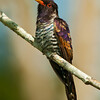 violet cuckoo (chrysococcyx xanthorhynchus)