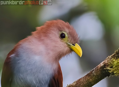 Squirrel Cuckoo (Piaya minuta)