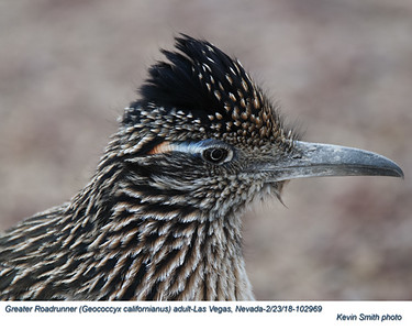 Greater Roadrunner A102969