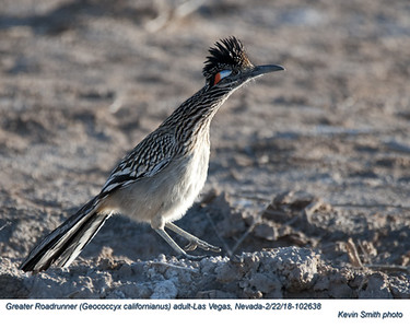 Greater Roadrunner A102638