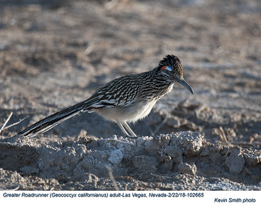 Greater Roadrunner A102665