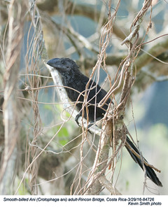 Smooth-billed Ani A84726