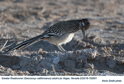 Greater Roadrunner A102651