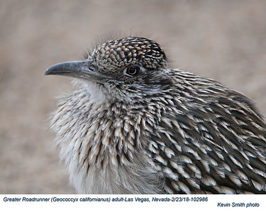 Greater Roadrunner A102986
