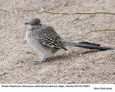 Greater Roadrunner A102991