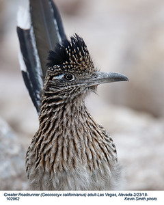 Greater Roadrunner A102962