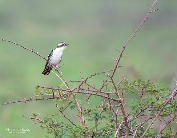 Diederick Cuckoo, Pilansberg National Park, SA, Dec 2013-1
