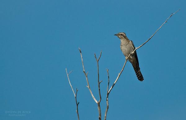 Pallid Cuckoo, Bowra, Qld, Aus, Jul 2009