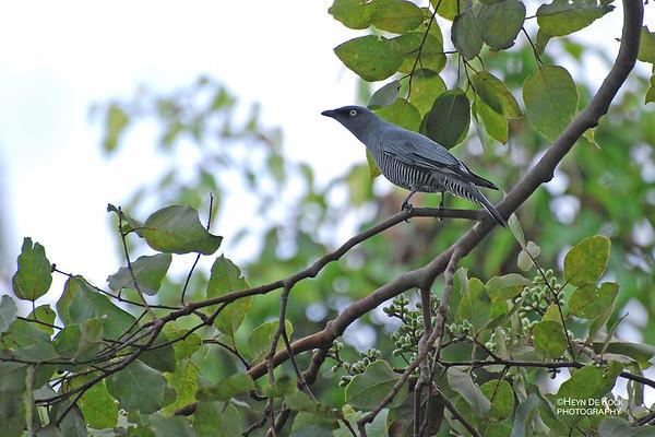 Barred Cuckooshrike, Cairns, QLD, Aug 2008-2