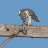 Prairie Falcon A & Norther Pocket Gopher 80355