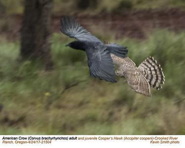 American Crow & Cooper's Hawk 21504