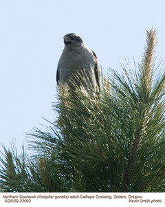 NorthernGoshawkA23003