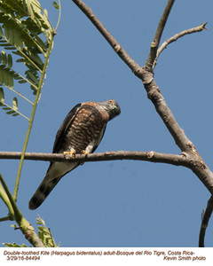 Double-toothed Kite A84494