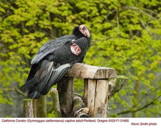 California Condor C31685