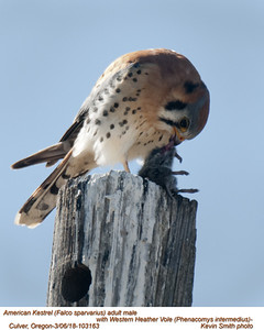 American Kestrel M-Western Heather Vole 103163