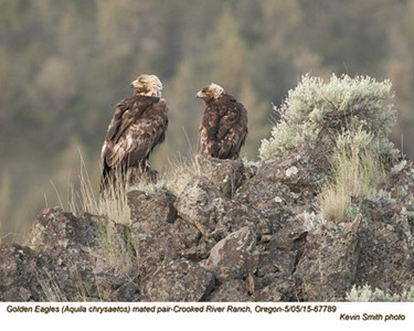 Golden Eagles P67789