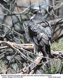 NorthernGoshawkA41591