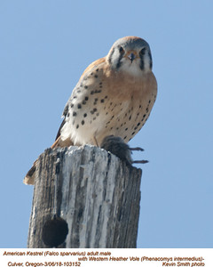 American Kestrel M-Western Heather Vole 103152