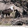 Bald Eagles Family 69118