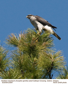 NorthernGoshawkA23081