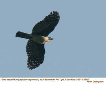 Gray-headed Kite A84639