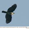 Gray-headed Kite A84639