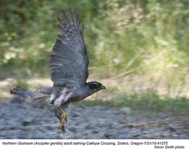 NorthernGoshawkA41575
