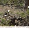 Bald Eagles Family 22793
