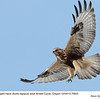 Rough Legged Hawk F78605