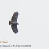 Barred Hawk 82209