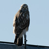Rough Legged Hawk F80270