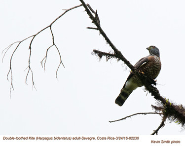 Double-toothed Kite A82230