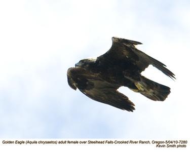 Golden EagleF7280