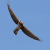 Northern Harrier F64724