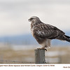 Rough Legged Hawk F78546