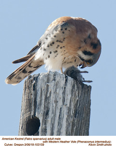 American Kestrel M-Western Heather Vole 103159