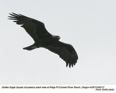 Golden Eagle M 66117