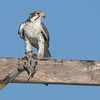 Prairie Falcon A & Norther Pocket Gopher 80335