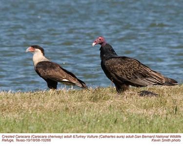 CrestedCaracara&TurkeyVultureA10266