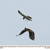 Northern Harrier M vs Red-tailed Hawk 34094