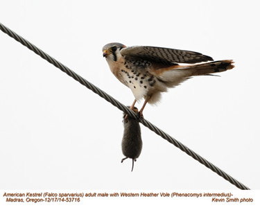 American Kestrel M-Western Heather Vole 53716