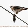 American Kestrel M-Western Heather Vole 53716