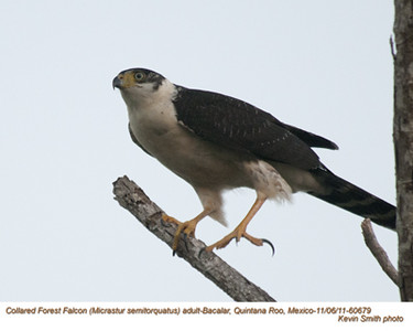 CollaredForestFalconA60679