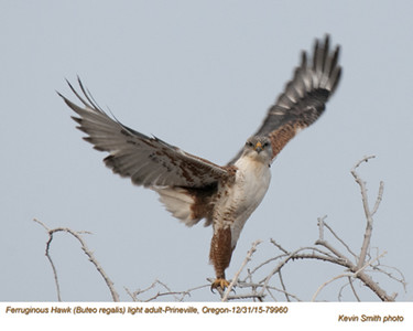 Ferruginous Hawk A79960