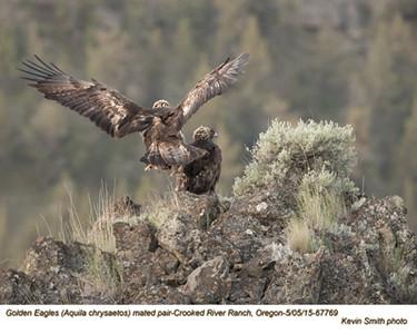 Golden Eagles P67769